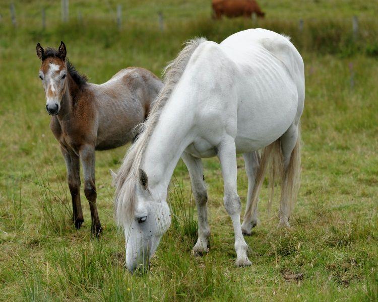 Connemara Pony und Fohlen