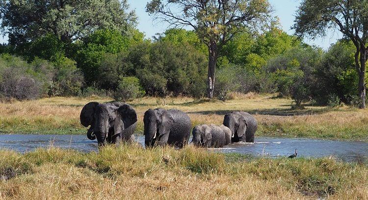 Elefanten durchqueren Fluss