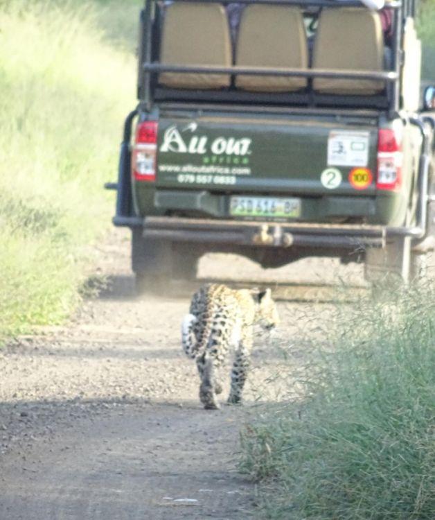 Ein Leopard direkt hinter einem Safari Auto