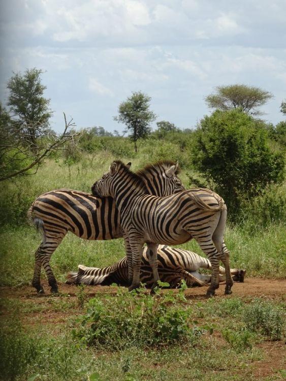 Zebras ich ihrem natürlichen Lebensraum