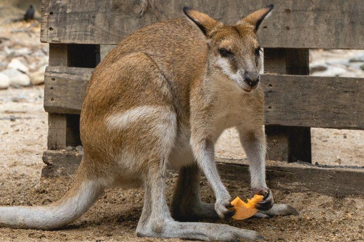 Känguru im Tierpark