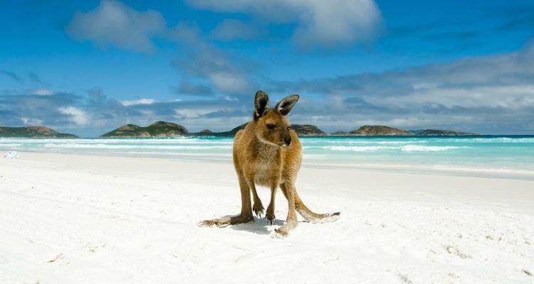 Känguru am Strand der Lucky Bay