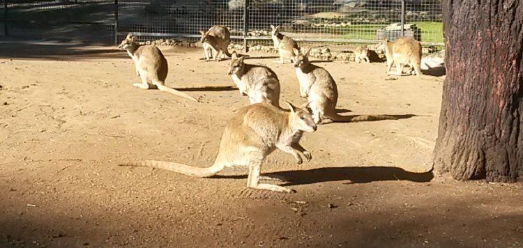Kängurus im Wildlife Park