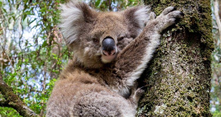 Koala im Otway National Park