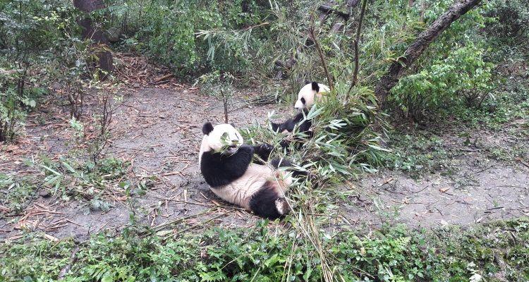 Pandas hautnah erleben