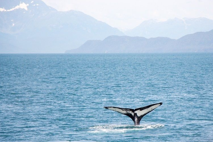 Auf Vancouver Island gibt es super Spots für das Whale Watching, beispielsweise in Victoria, Ucluelet oder Tofino.