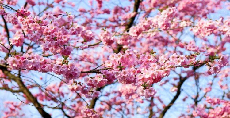 cherry-blossom-1318258_1920
