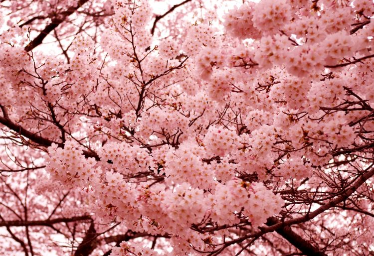 cherry-blossoms-2-1336262