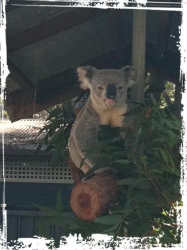 Since I´ve been to Australia, koala bears are my favorite animals!